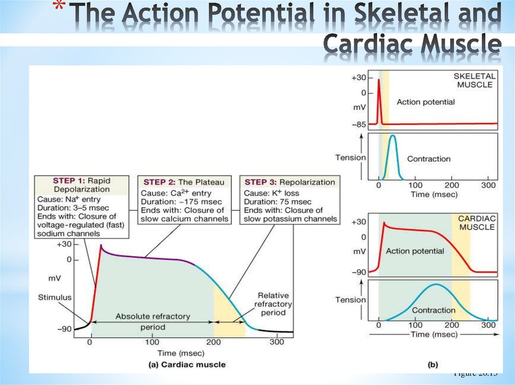 The Action Potential in Skeletal and Cardiac Muscle