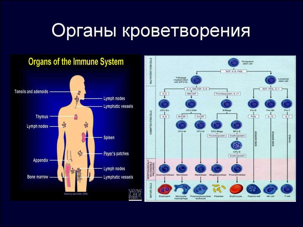 Картинки по кроветворным органам