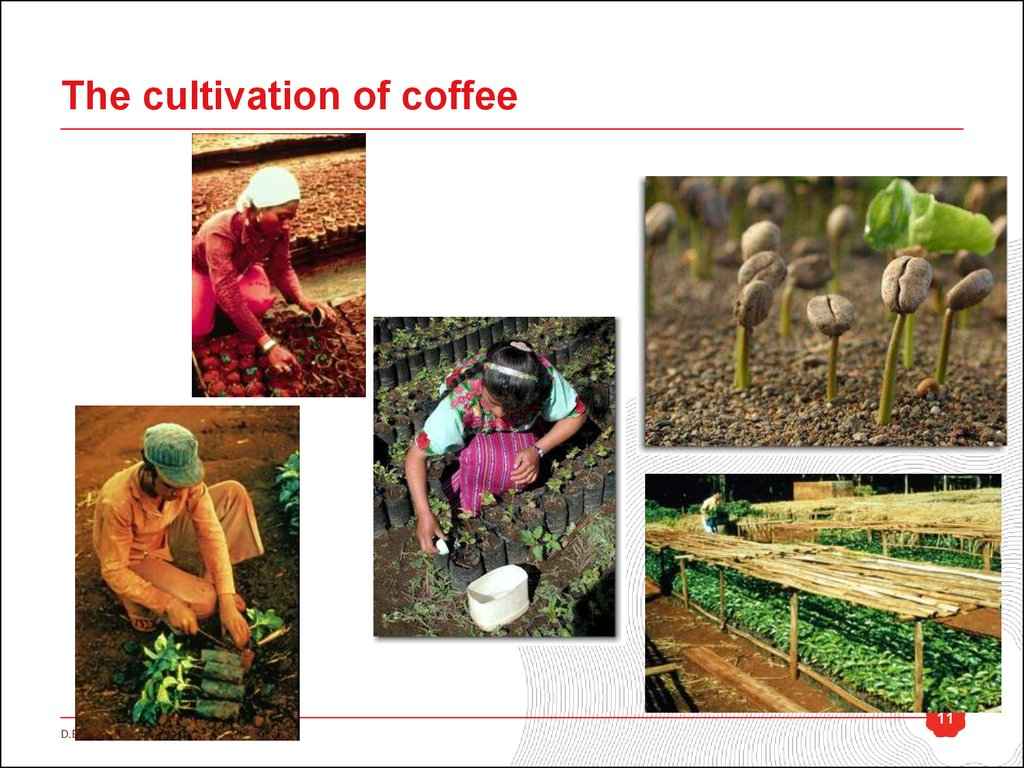 The cultivation of coffee
