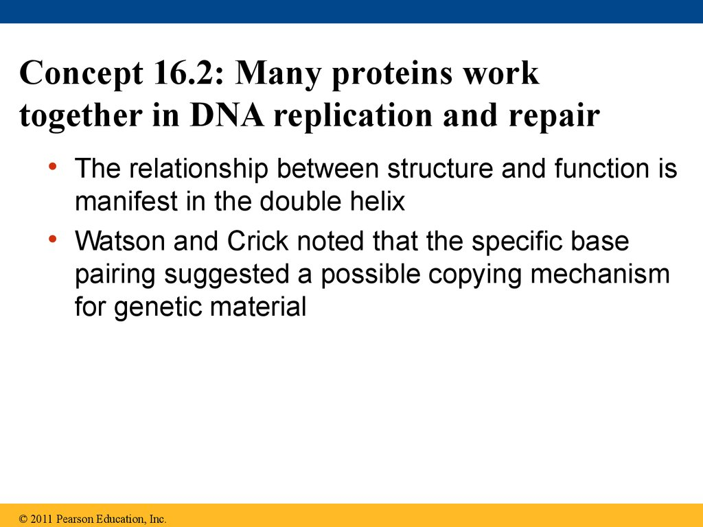Concept 16.2: Many proteins work together in DNA replication and repair