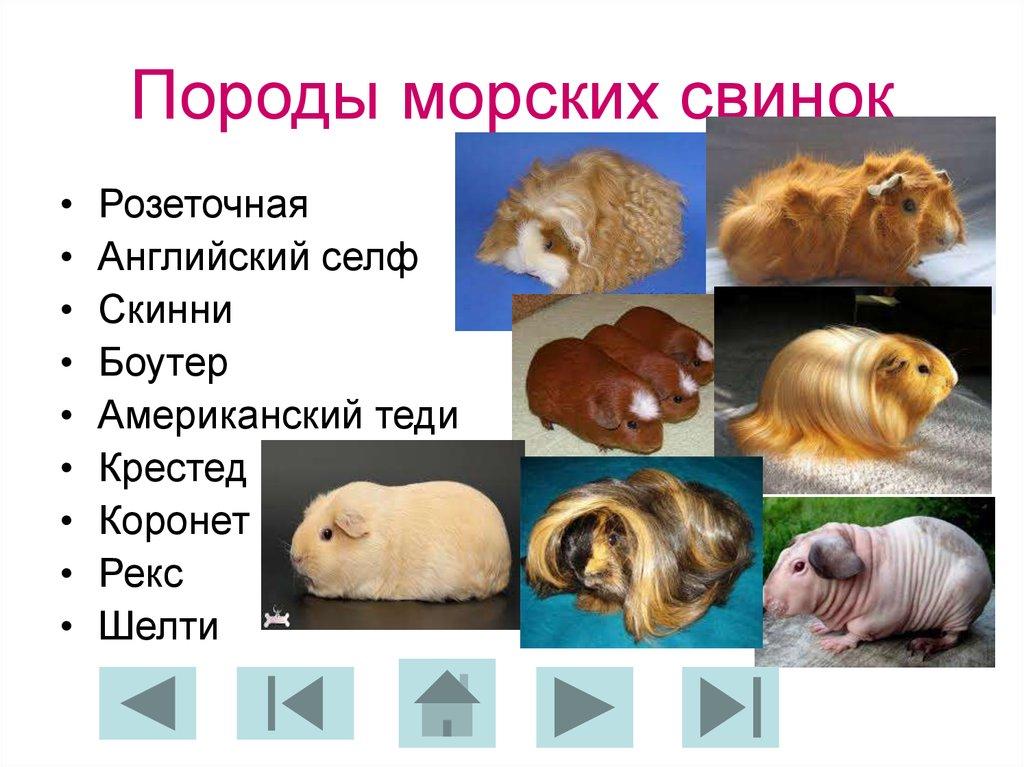 Морская свинка происхождение