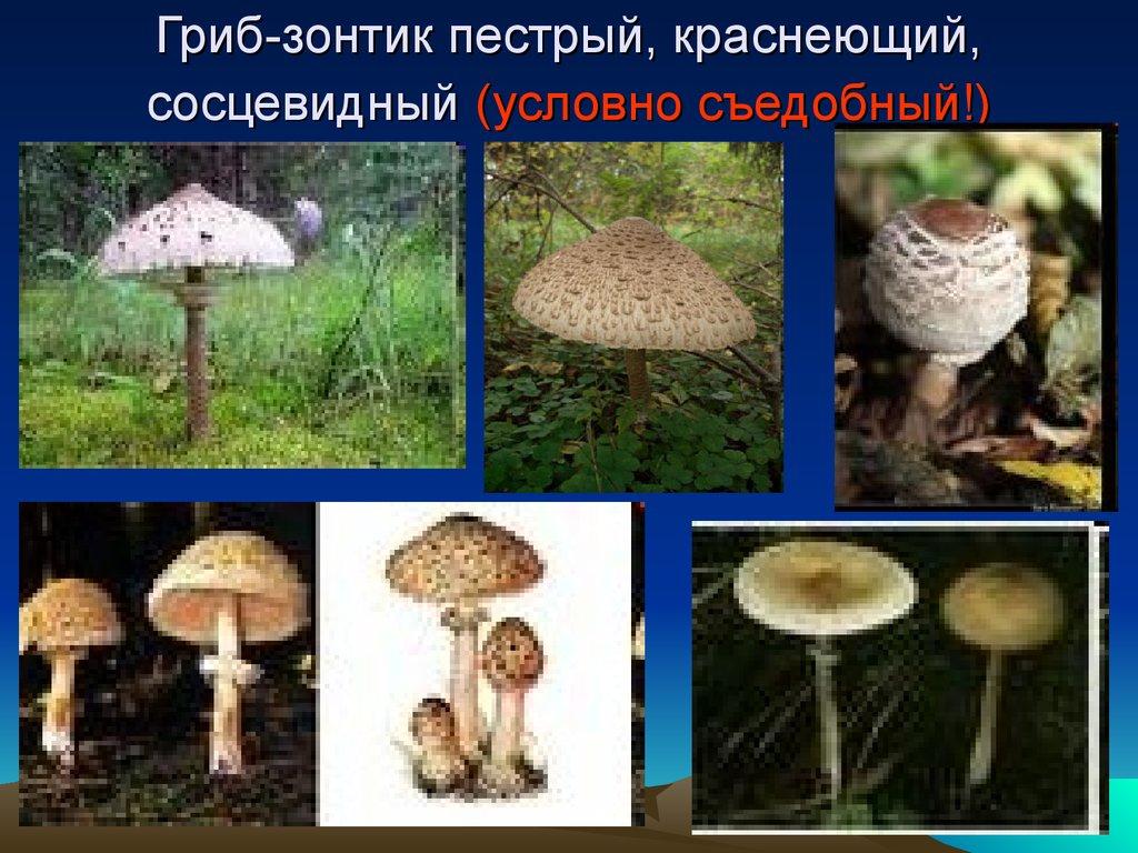 Днем, зонтичные грибы в картинках ядовитые и съедобные