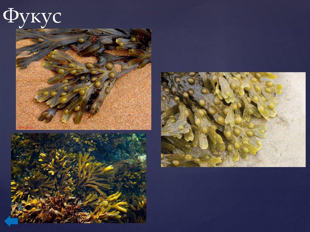 картинки бурых водорослей фукус нескольких