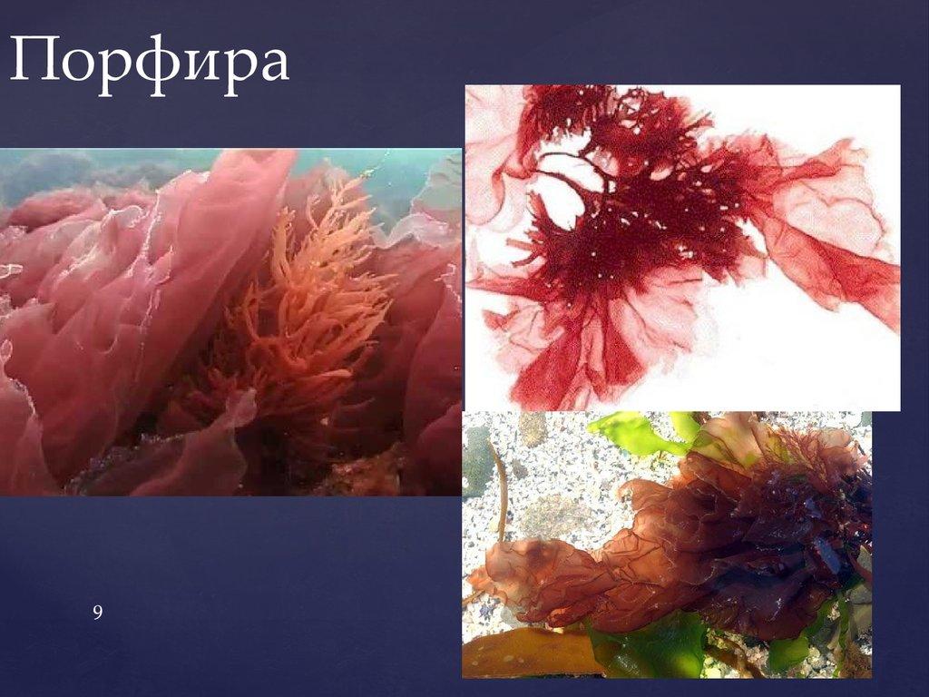 порфира картинка водоросли или автопортрет