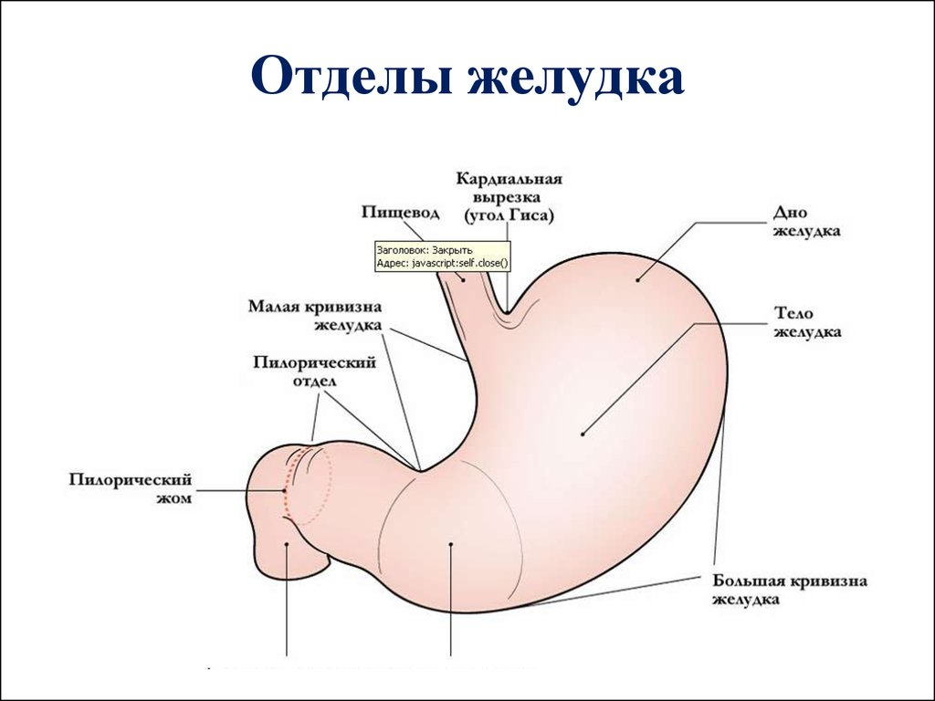 Отделы желудка человека схема фото 944