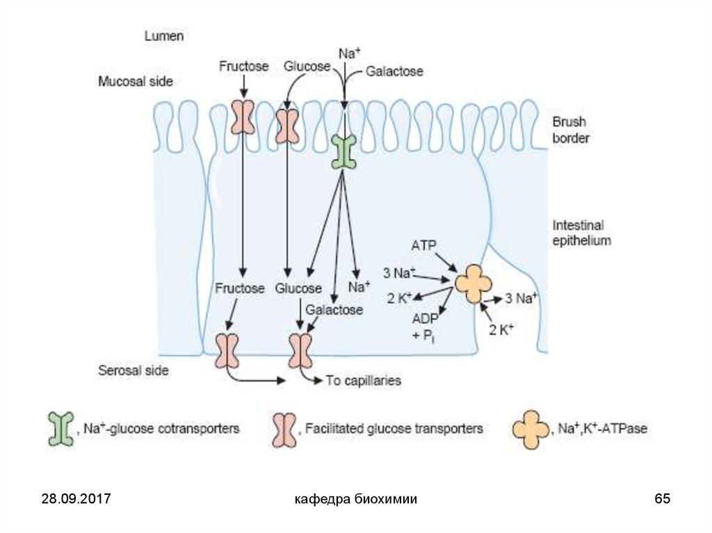 Глюкозо натриевый ко транспортер это транспортер прибамбасск