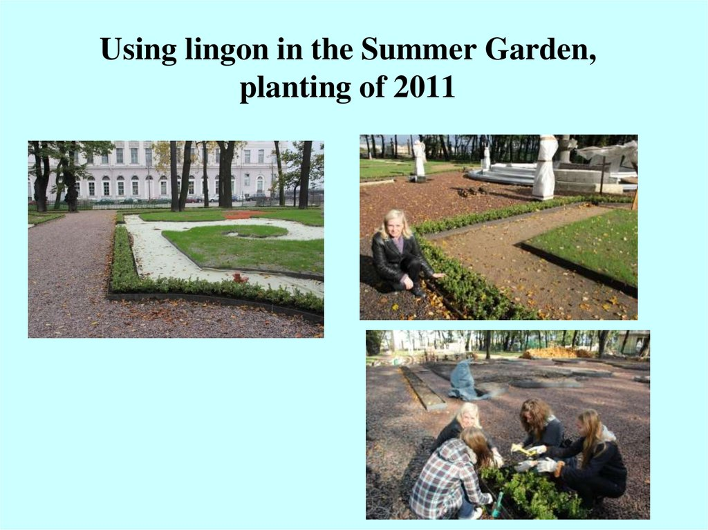 Using lingon in the Summer Garden, planting of 2011