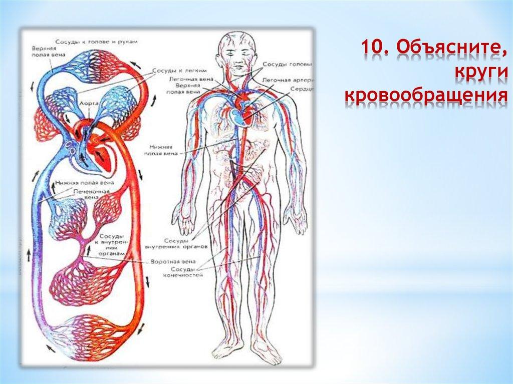 схема кровообращения в картинках известно, что