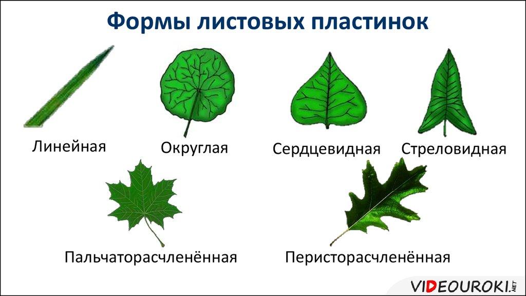 картинки форм листовых пластинок