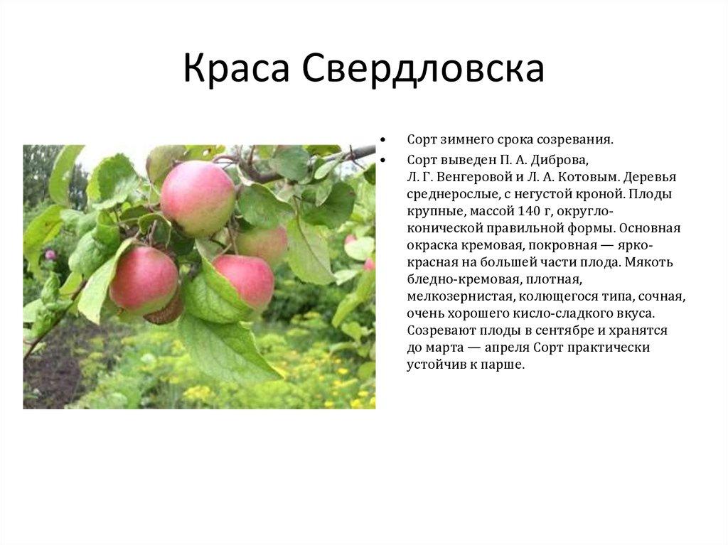 следует тщательно яблоня краса свердловска описание фото отзывы ливеры много лет