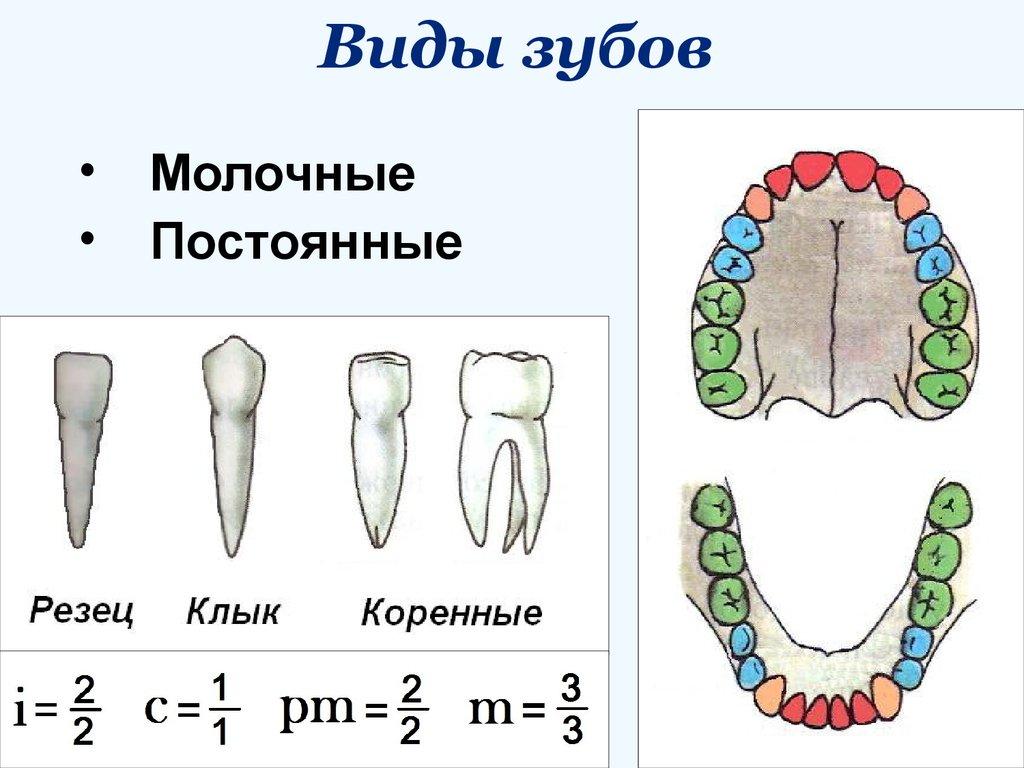 Картинка с названиями зубов