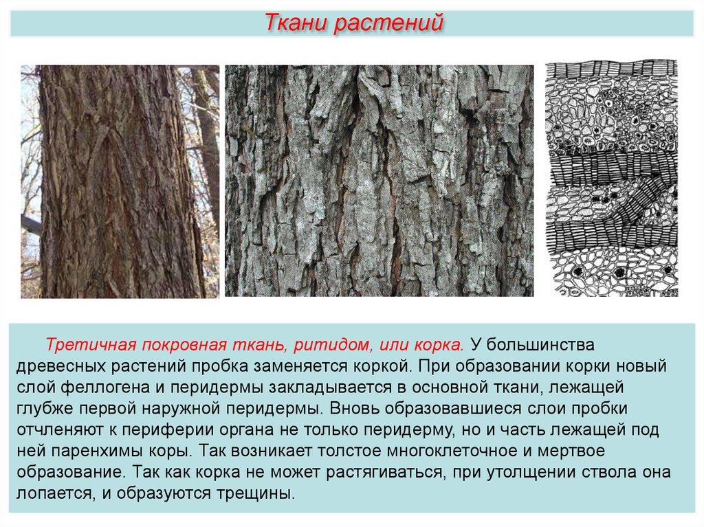 Ткань древесных растений выполняющая опорную функцию