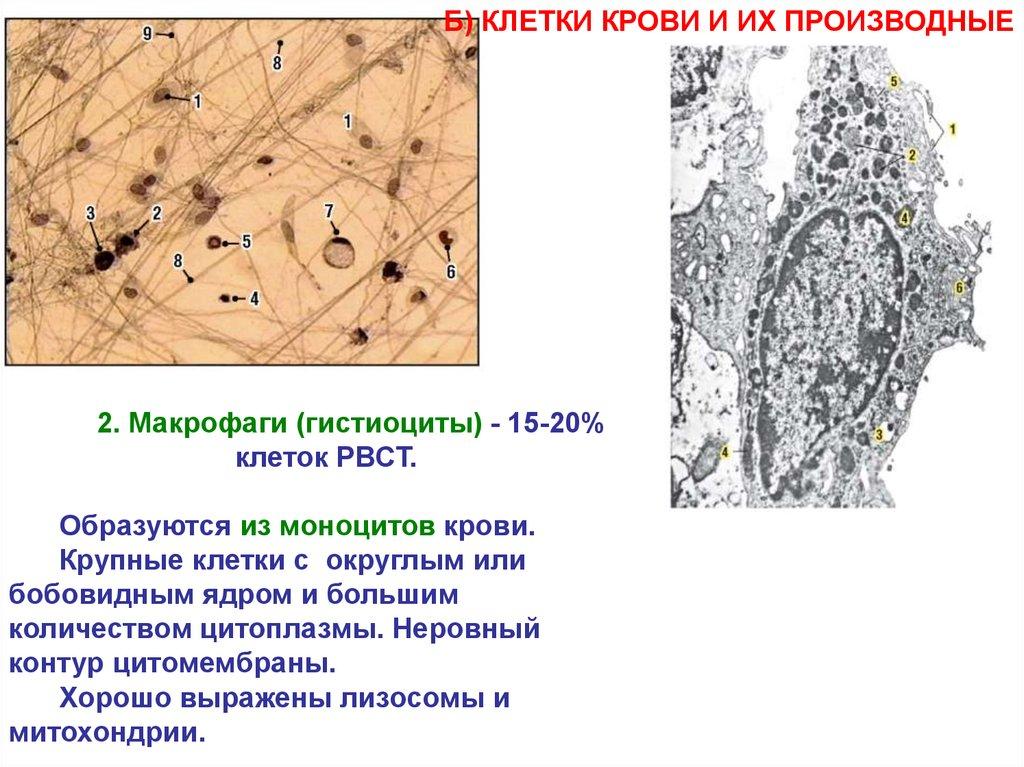 Соединительные ткани с хорошо выраженными опорными функциями
