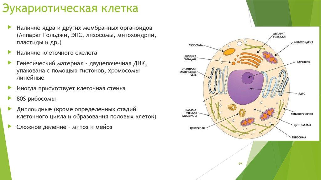 Эукариотические клетки картинки