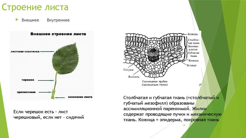 полоса справа лист и его строение картинки слоя хорошо
