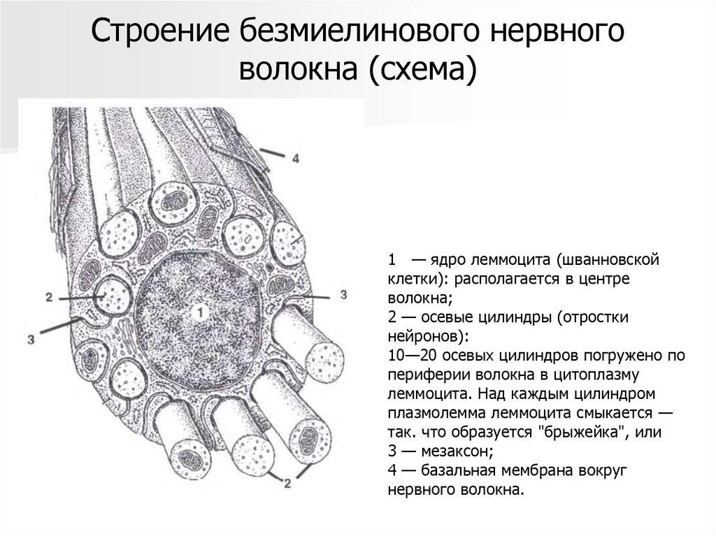 Схема нервное волокно