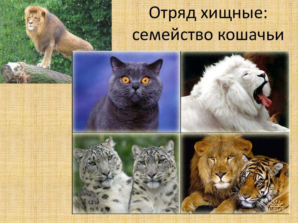 связано картинки семейство кошачьих с названиями как это сделала