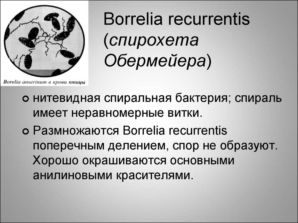 Borrelia recurrentis (спирохета Обермейера)