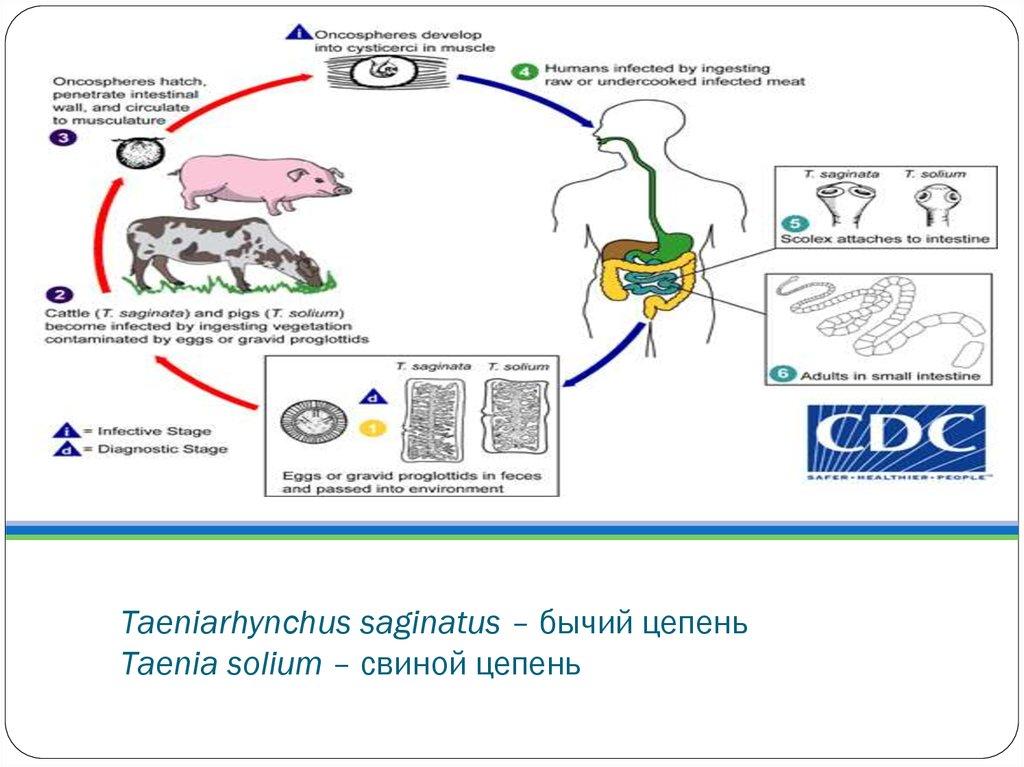 паразиты в кровеносной системе человека