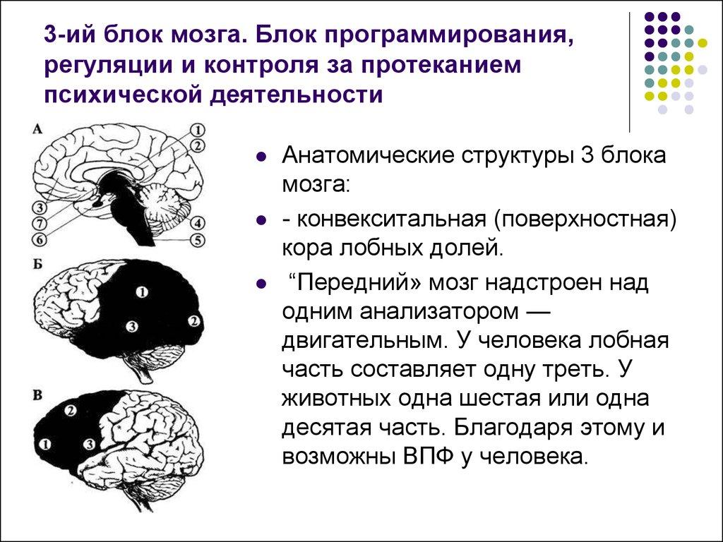 три блока мозга картинка прочего красавицы посещают