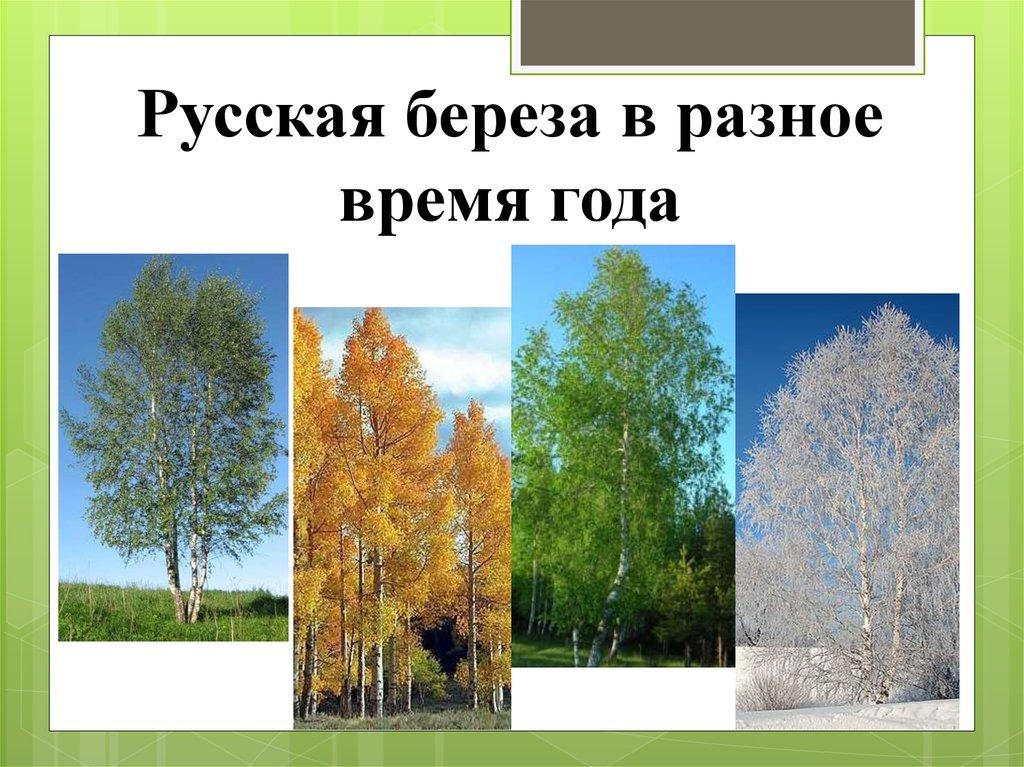 Картинки березы в разные времена года