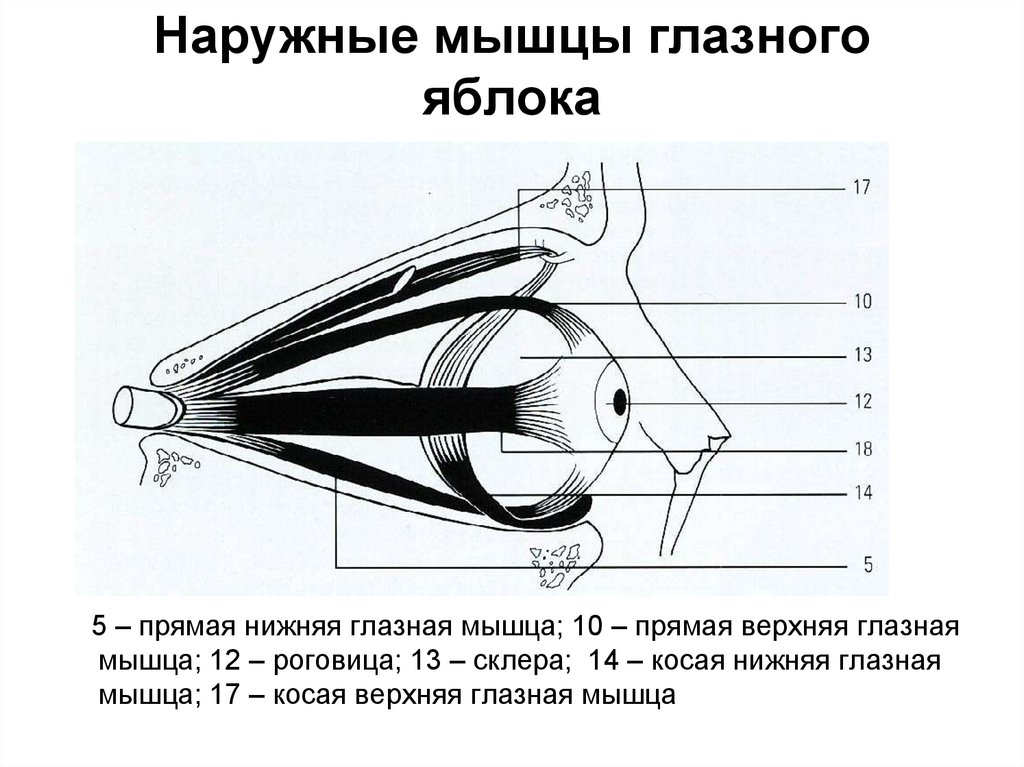 картинки мышц глаз