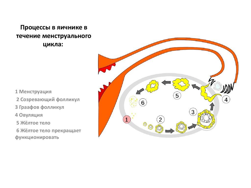 Протяжении менструального цикла