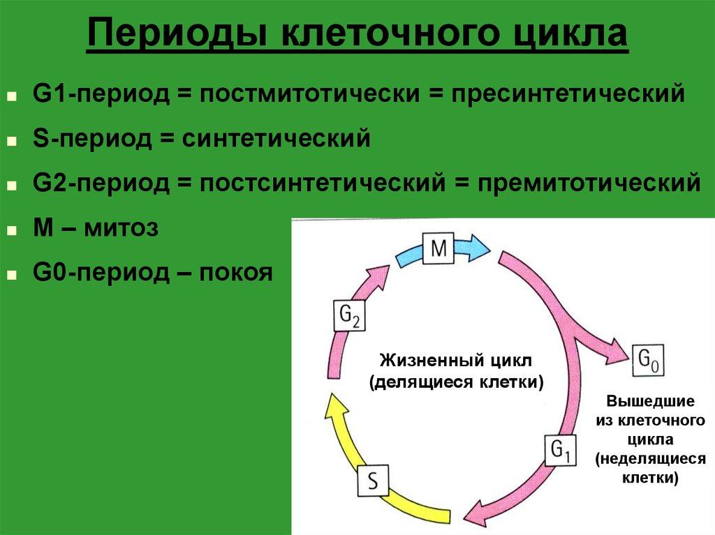 Реферат по биологии жизненный цикл клетки 5723