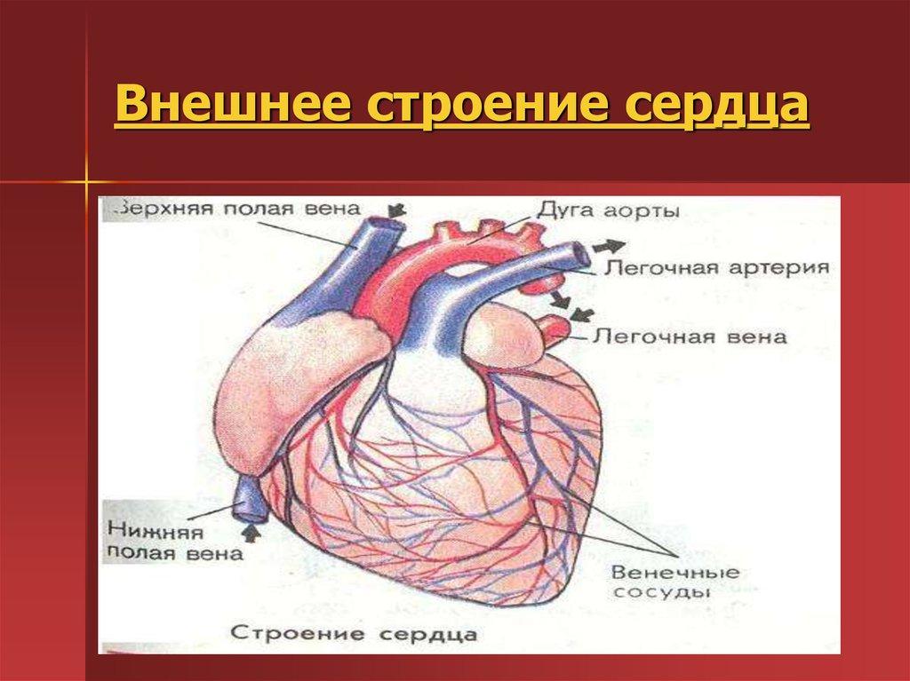 Сердце человека картинки с надписями