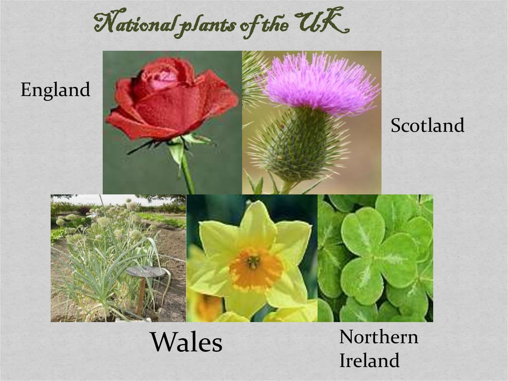 National Symbols Of The Uk Plants Online Presentation
