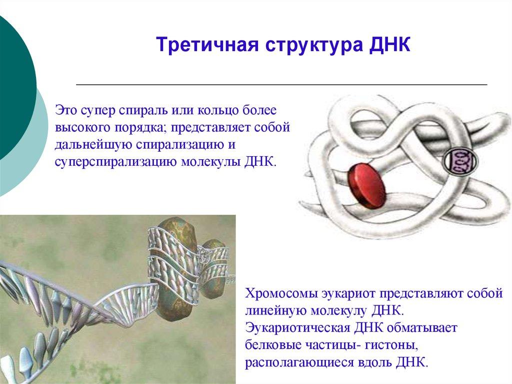 Третичная структура днк картинки
