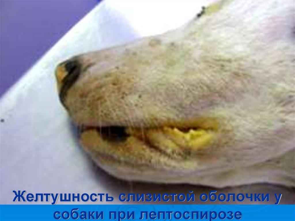лептоспироз у собаки как поставить диагноз основания, дата вынесения