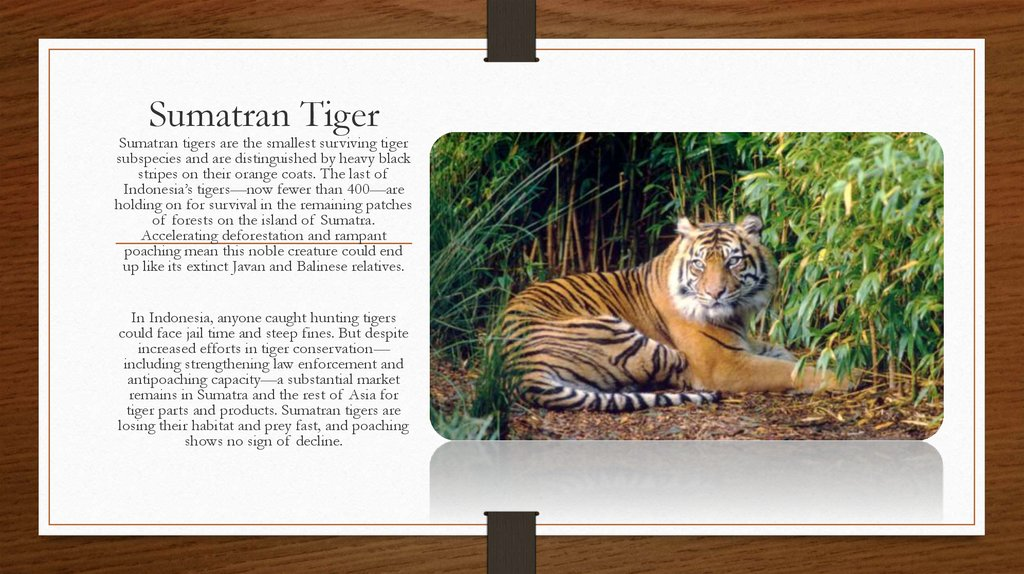 conservation tigers essay The royal bengal tiger is the largest animal in the cat family they have a reddish yellow coat with black stripes the underside of their abdomen is white and their ears are black on the outside with a prominent white spot on it.