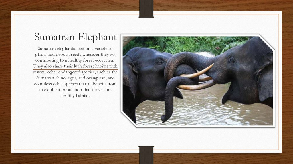 elephants the endangered species Highlighting the situation of endangered animal species around the world.