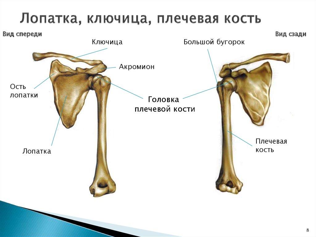 скелет плеча строение суставы