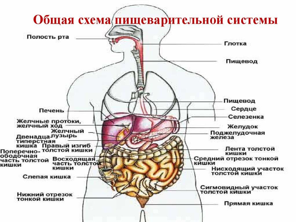 Отделы желудка человека схема фото 584