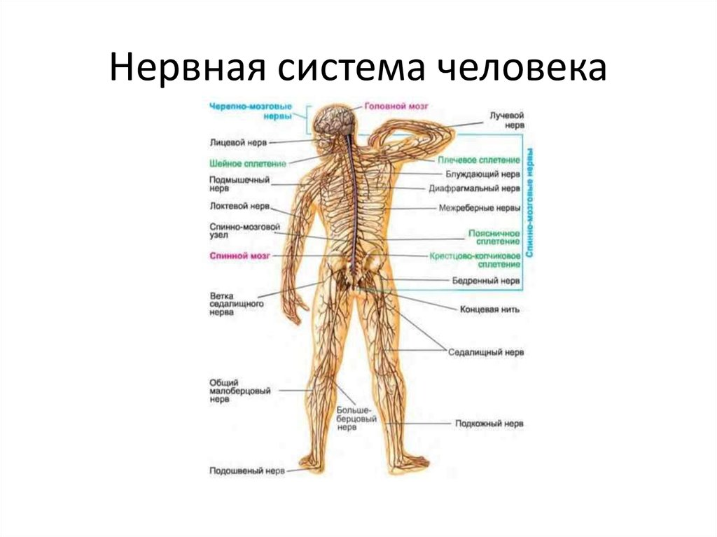 это нервная система человека реферат картинки большинстве