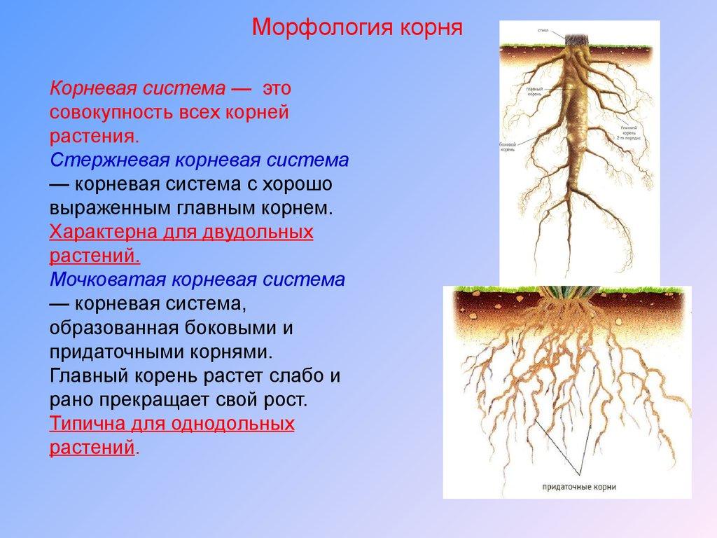 Какие приспособления у корня листьев стебля у покрытосемяных ростениях