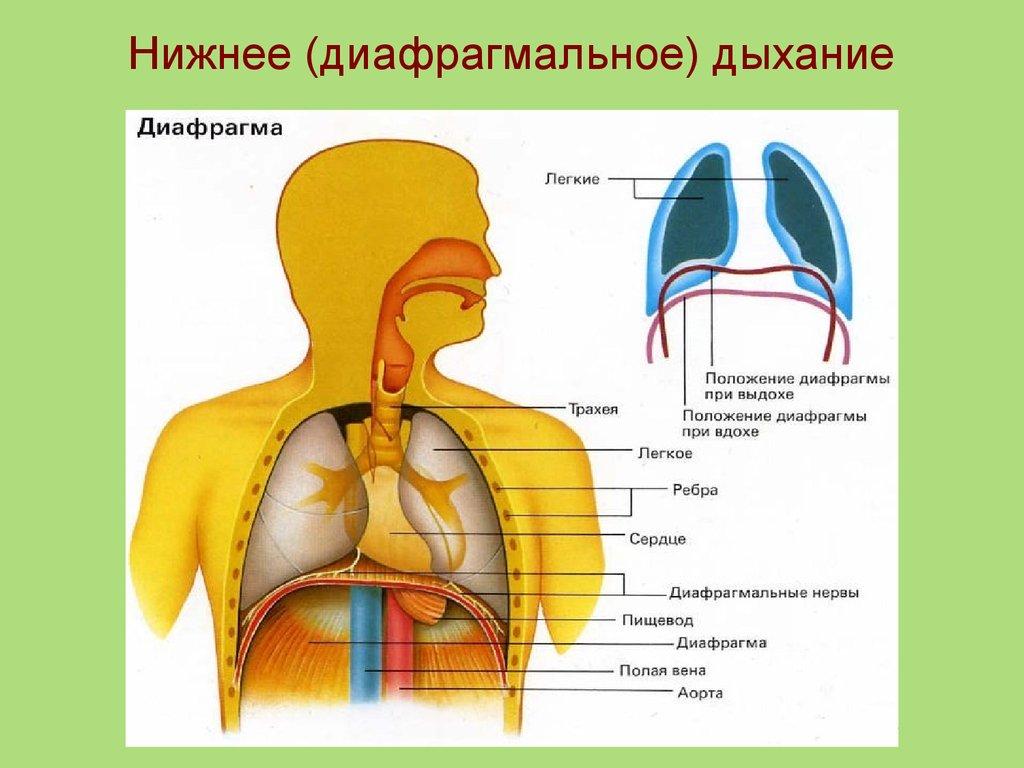 большей схема как дышать правильно картинка про дыхание числе подопечных игоря