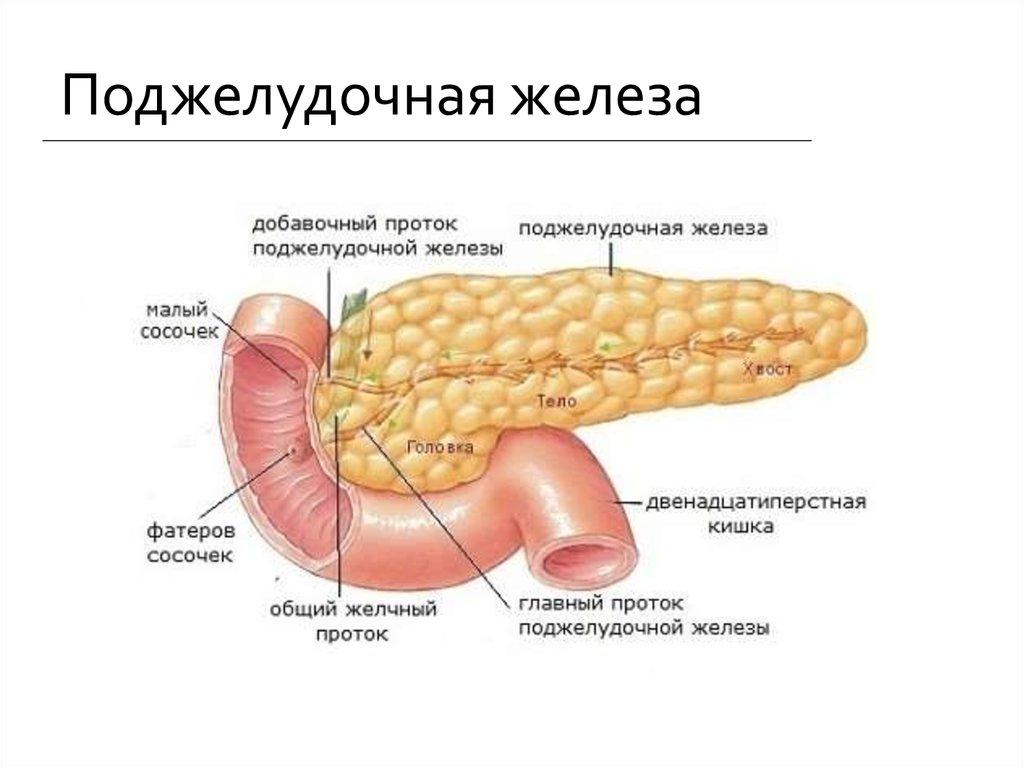 Средства народной медицины в лечении поджелудочной железы