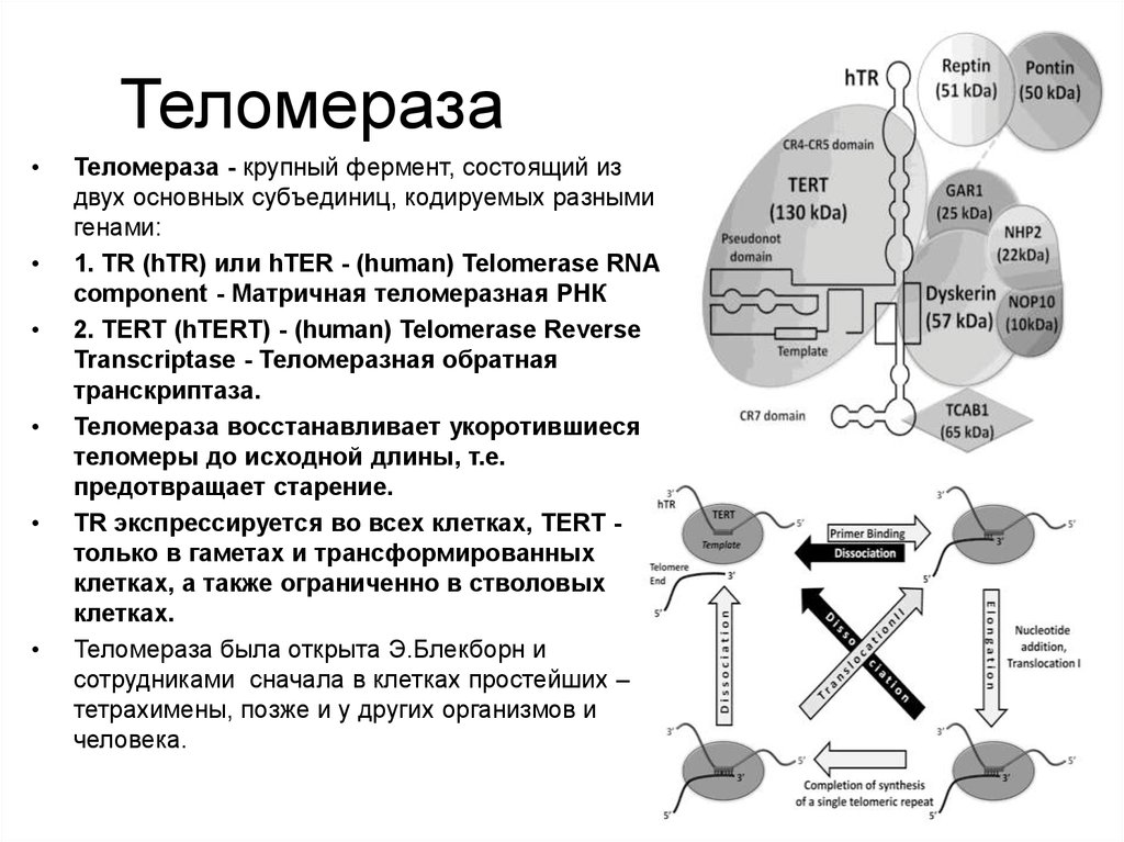 telomerase Telomerase, also called terminal transferase,[1] is a ribonucleoprotein that adds a species-dependent telomere repeat sequence to the 3' end of telomeres.