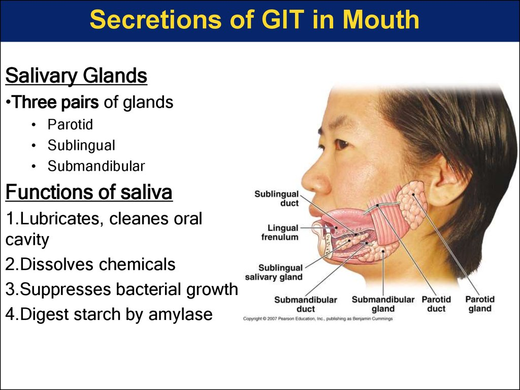 Secretions of GIT in Mouth