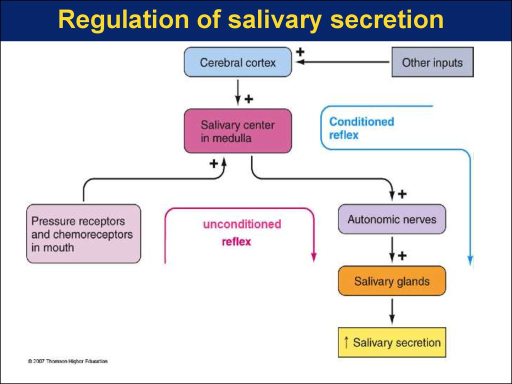 Regulation of salivary secretion