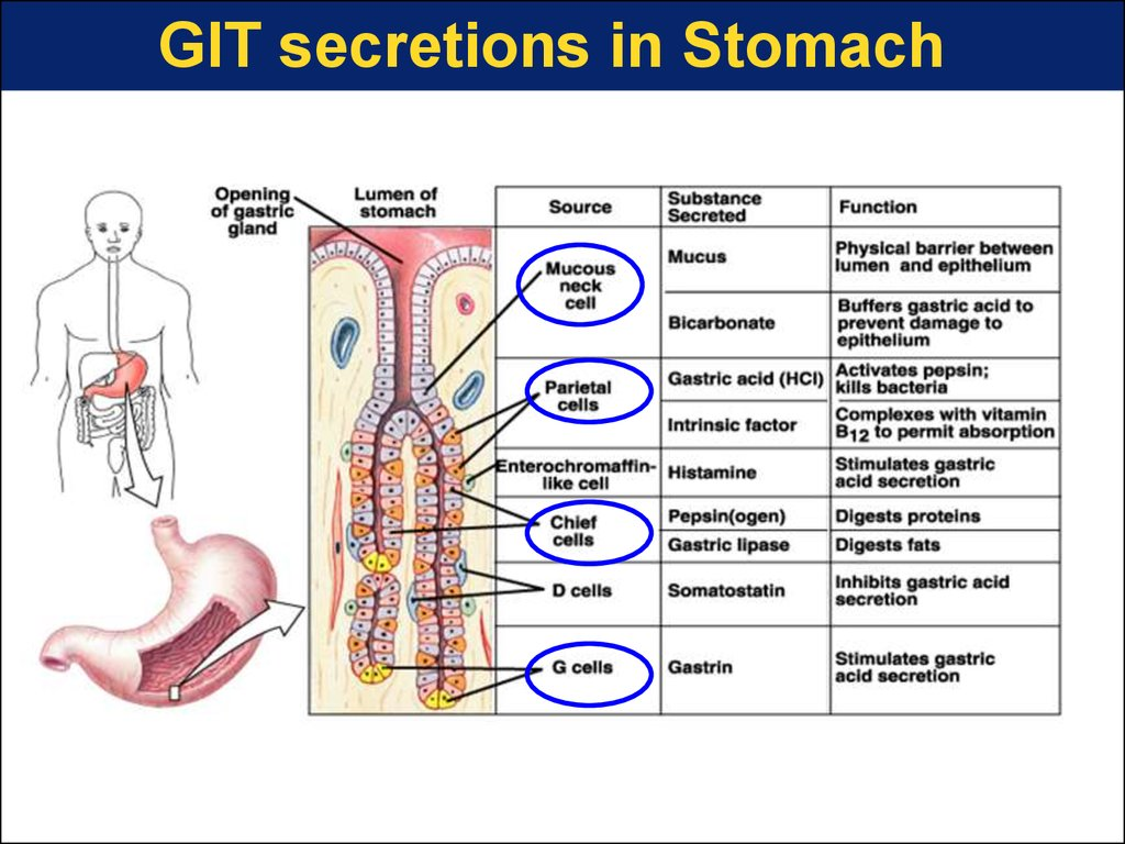 GIT secretions in Stomach