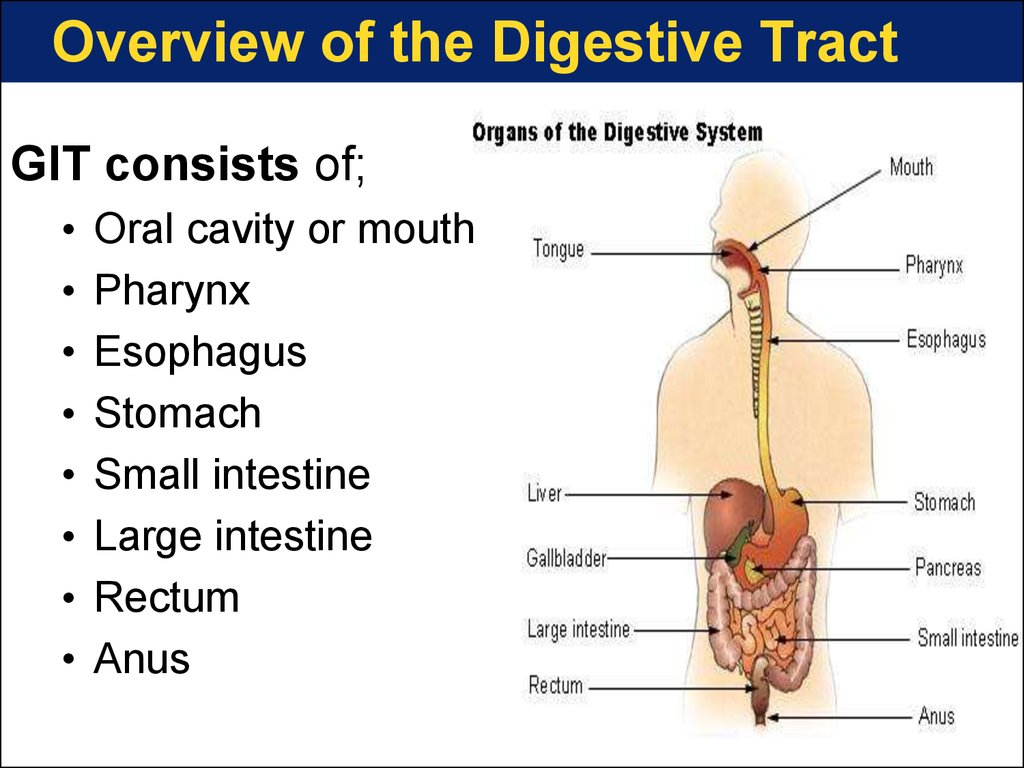 Overview of the Digestive Tract