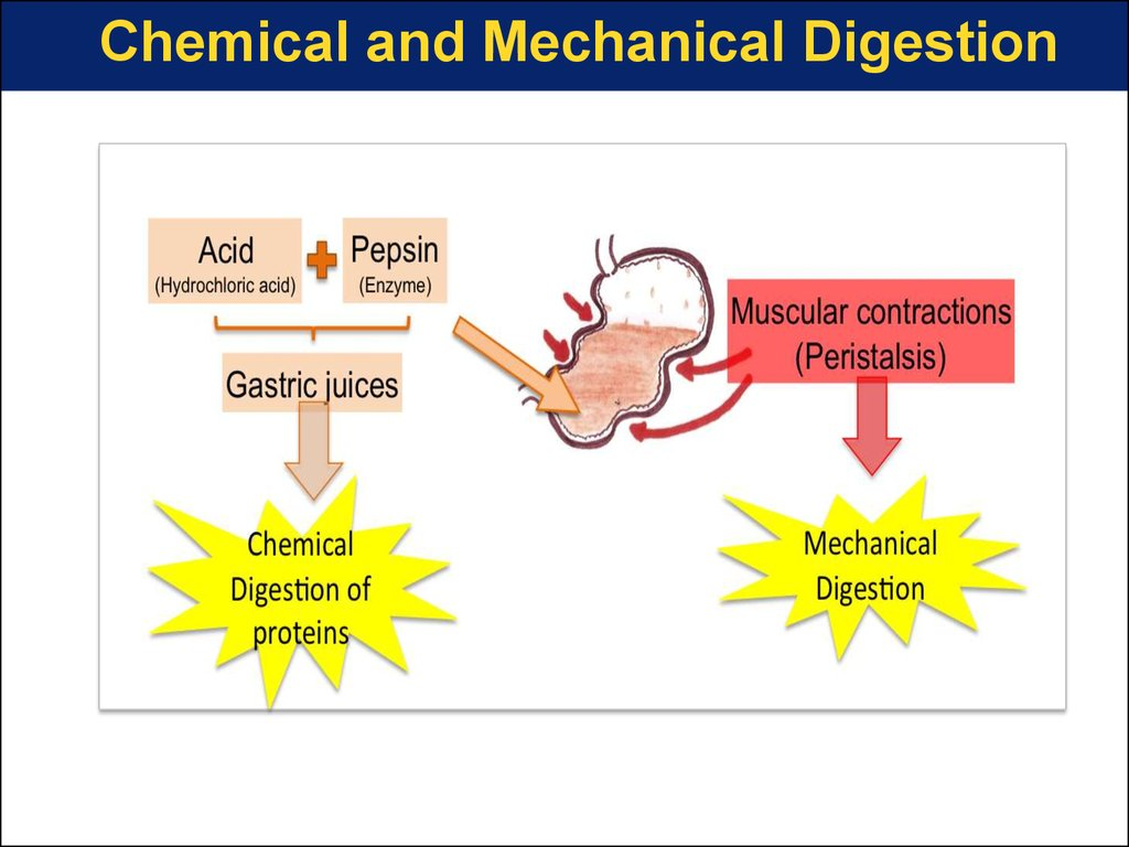 Physiology Of Digestion And Absorption Online Presentation