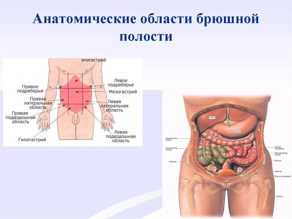 Строение органов брюшной полости картинки