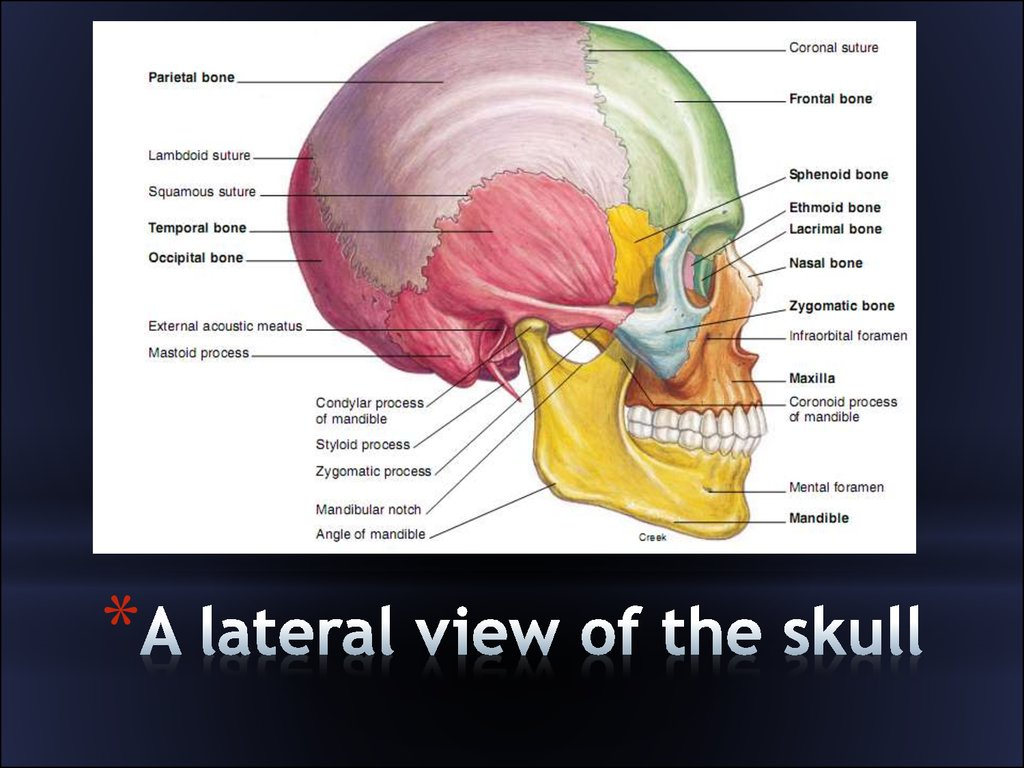 Anatomy Of The Neck And Head Gallery - human body anatomy