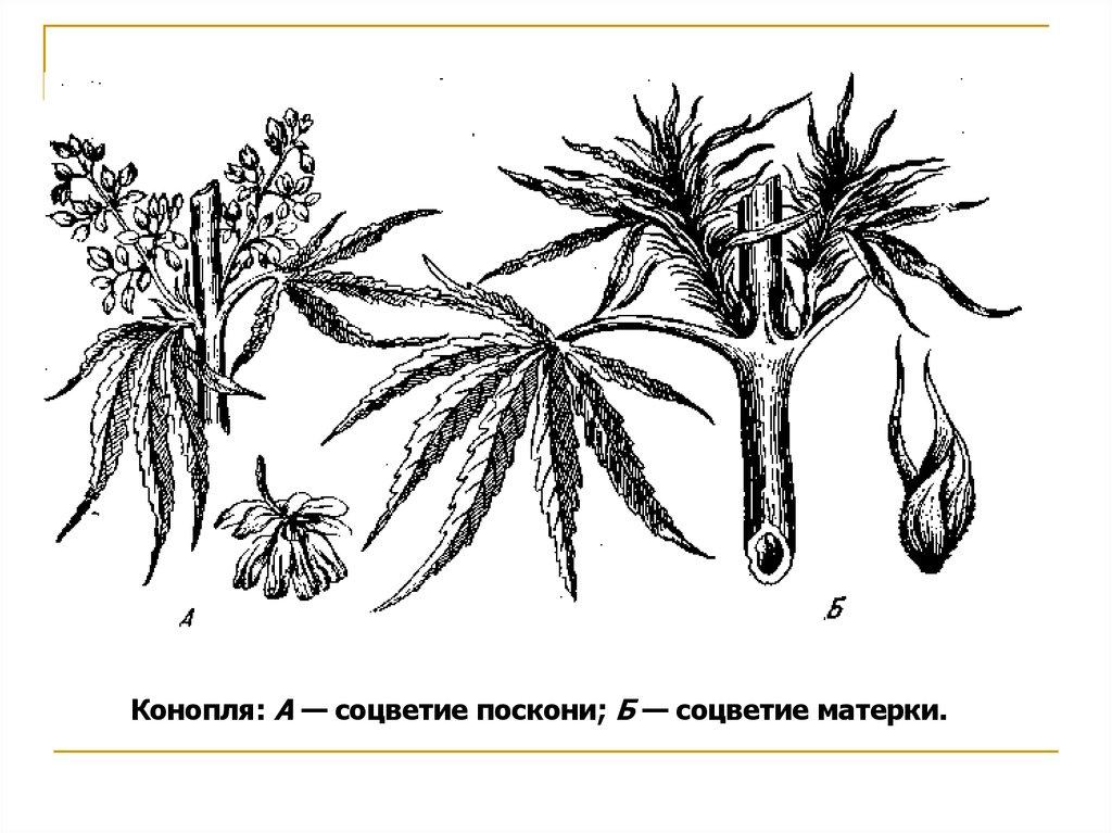 Конопля посконь и матерка рост шишек марихуаны