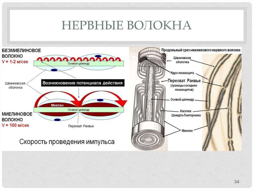 Картинки нервная волокна
